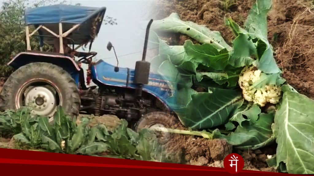 Farmers crushing cabbage in the Deputy Chief Minister's Assembly constituency